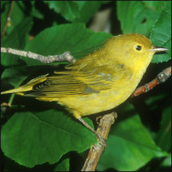 A pale yellow bird sits on a twig among green leaves.