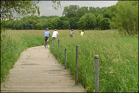 Bicycle riders ride on a board walk that traverses a cattail marsh.
