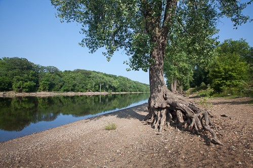 A lone Cottonwood Tree with roots going into the beach overlooking the Mississippi River in the background.