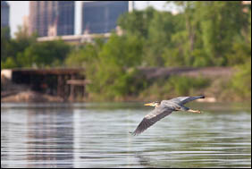 A great blue heron flies over Pickerel Lake in Lilydale Regional Park. Downtown Saint Paul is in the background.