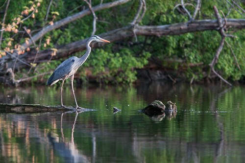 A Great Blue Heron stands over a downed tree overlooking the Mississippi River.