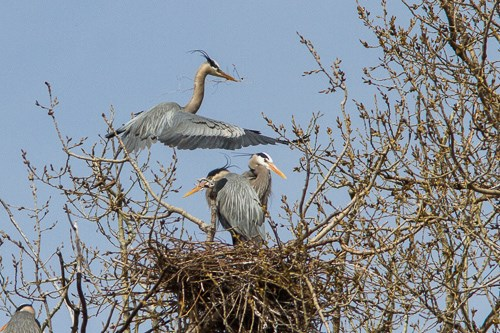 Great Blue Herons in a nest near Marshall Terrace Park.