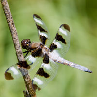 A dragonfly perched on a twig.