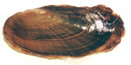 Scaleshell Mussel