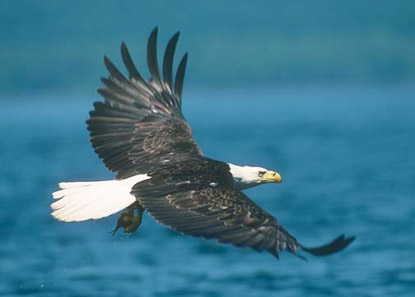 Eagle soaring over the river