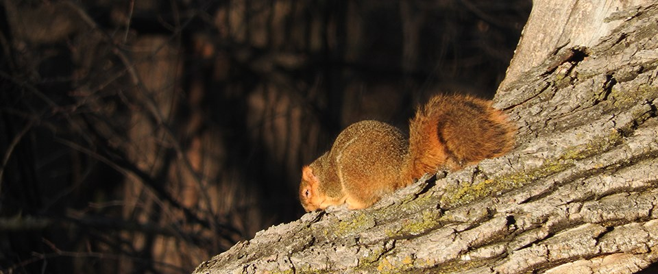 A fox squirrel lounges on a tree in morning sun.