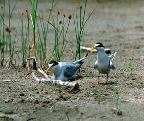 Two least terns at nest