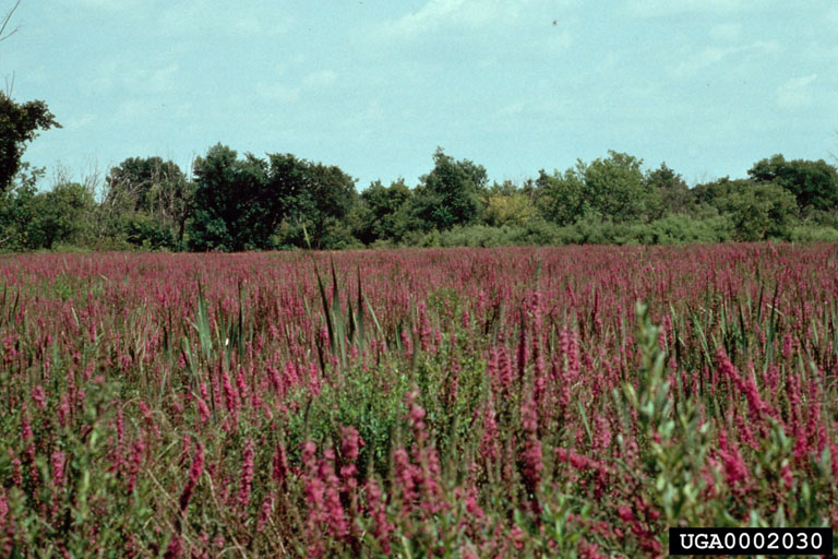 Field of purple loosestrife