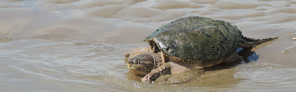 A common snapping turtle on the river's shoreline.