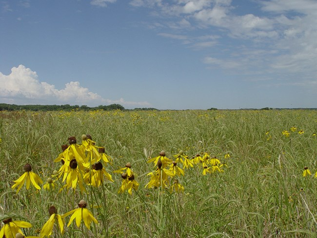 Yellow coneflowers in bloom in the prairies of Bow Creek Recreation Area.