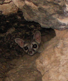 Ringtail at Montezuma Castle