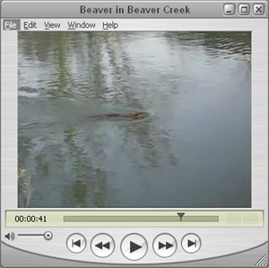 Beaver In Beaver Creek