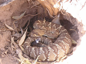 Black-tail Rattlesnake