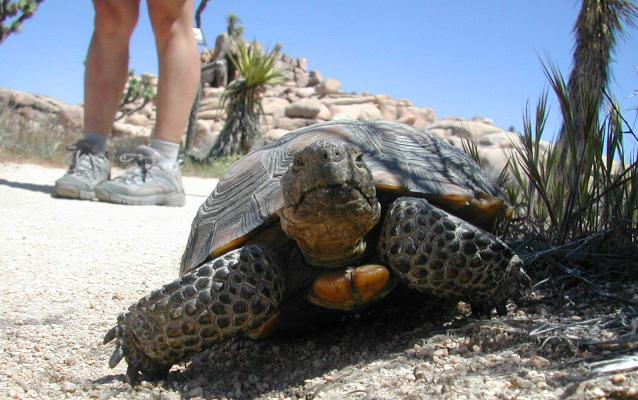 desert tortoise ranger program mojave national preserve