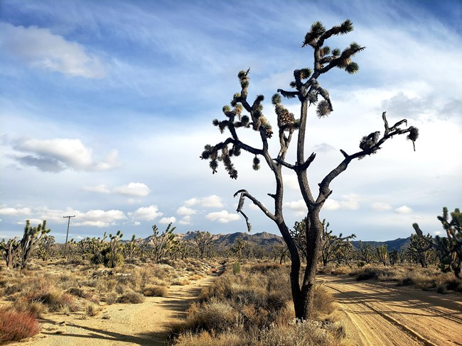 Plants Mojave National Preserve U S National Park Service