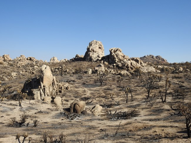 A granitic rock outcrop stands barren amongst a grove of Joshua tree skeletons
