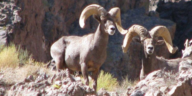photo of desert bighorn