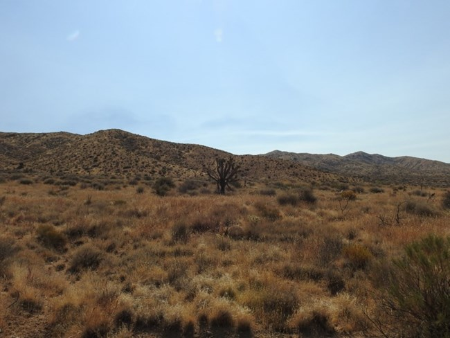 A diverse grassland consisting of mostly native species, with a solitary Joshua tree in the middle.