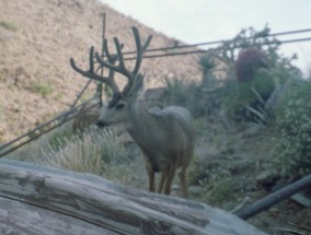 Mule deer buck at Clark big game guzzler.