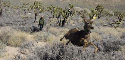 More Water For Mule Deer Mojave National Preserve U S