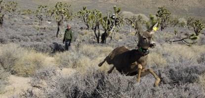 Image result for mule deer