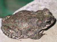 photo of red spotted toad