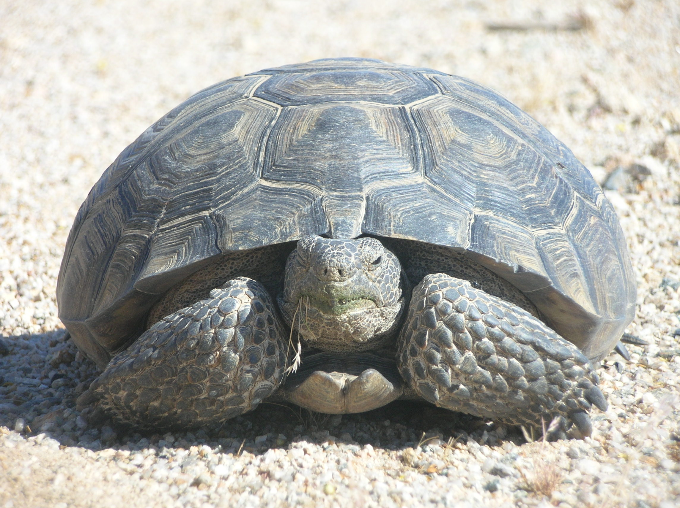 The Mojave desert tortoise (Gopherus agassizii)