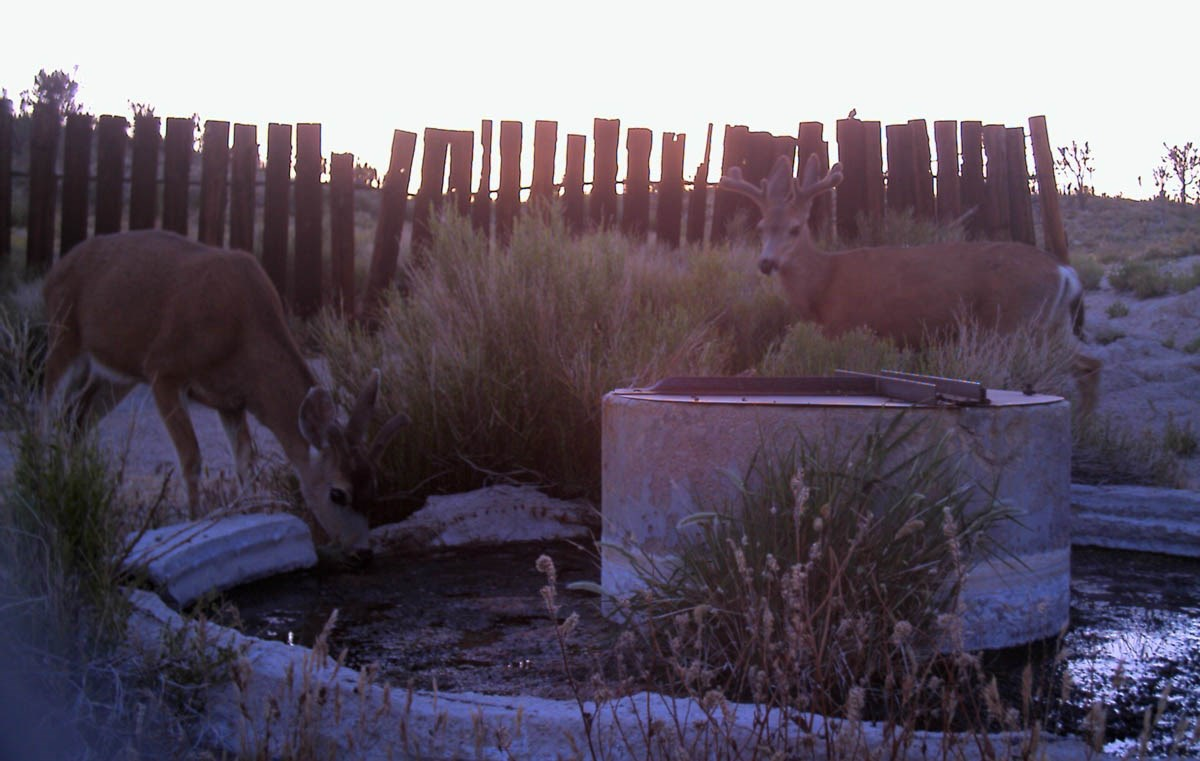 Mule deer at old water trough.