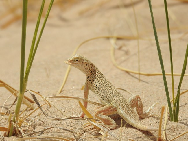 A lizard standing on the sand, with dunes grass surrounding it.