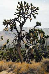 Joshua Tree along Cima Road
