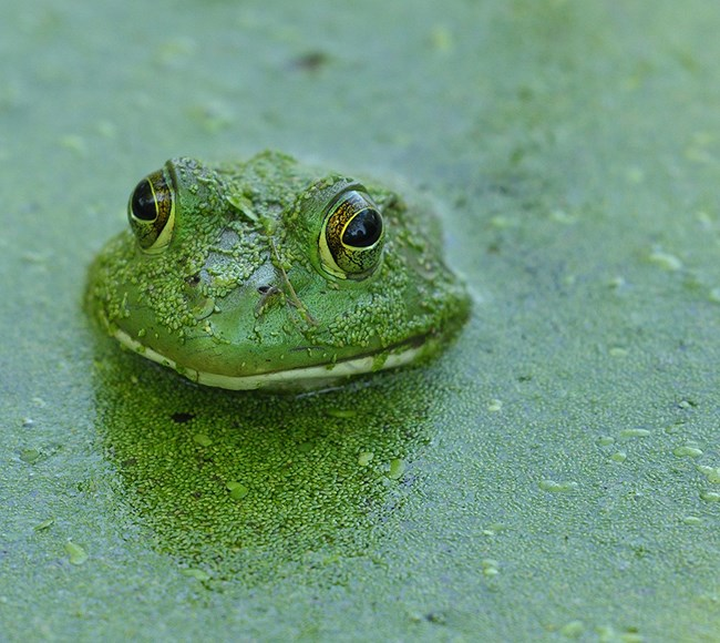 American Bullfrog covered in Duckweed