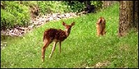 White tail deer fawns
