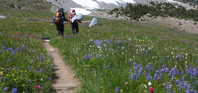 Two hikers with butterfly nets walk along a trail in a wildflower meadow.