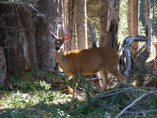 A blacktailed deer stands along Dead Horse Creek trail.