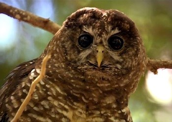 Still image of a spotted owl taken from a park video.