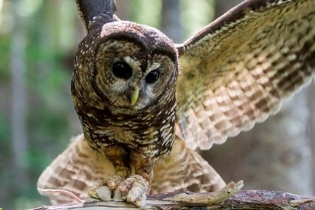 A female spotted owl lands on a branch with a mouse in her talons.