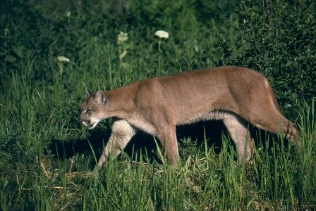 A mountain lion walks through a field.
