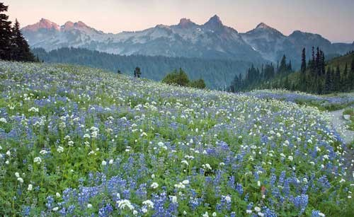 A meadow of wildflowers with the Tatoosh range in the background.