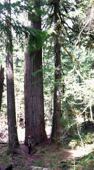 A park ranger stands dwarfed at the base of an old-growth Douglas-fir tree.