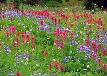 One of the many beautiful subalpine flower meadows carpeted in blossoms of vivid red magenta paint brush, purple lupines and white American bistort.