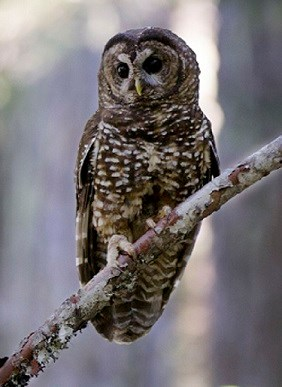 White spotted owl perched on tree limb in Mount Rainier Wilderness area.