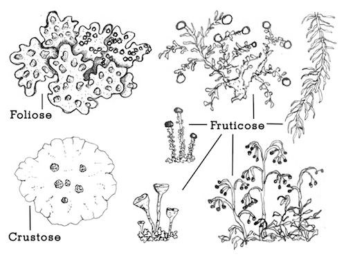 Drawings of several different lichen types, labeled Foliose, Crustose, and Fruticose.