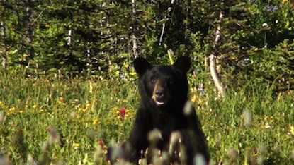 A bear sitting in the meadow at Indian Bar. Photo taken September 5, 2011.