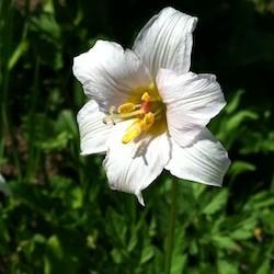 Subalpine wildflowers white mount rainier national park us avalanche lily mightylinksfo