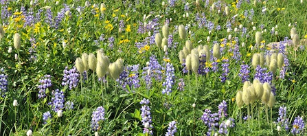 Wildflowers blooming in a meadow, including lupine, pasqueflower seedheads, American bistort, broadleaf arnica, and sitka valarian.