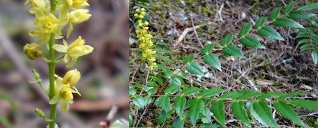 Yellow Cascade Oregon-grape flowers (left); leaves with 11-19 toothed leaflets (right).
