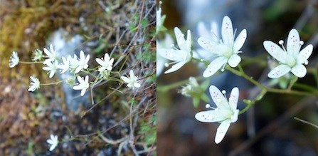 Yellow-dot Saxifrage (left), with close-up of flowers (right).