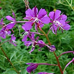 Fireweed flowers