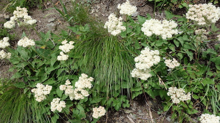 Heartleaf Buckwheat