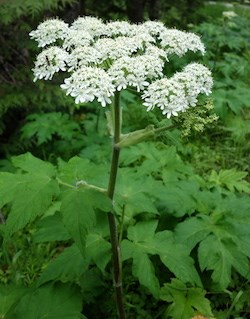A disc of white flowers on a tall leafy stem.